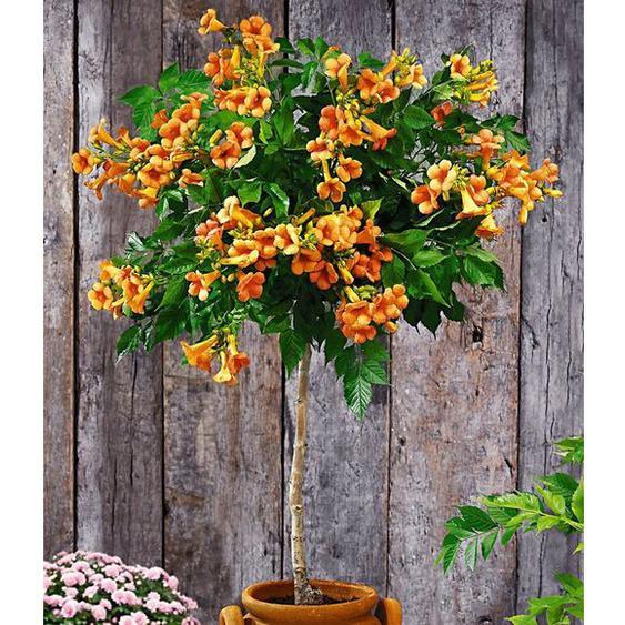 Campsis-Stämmchen Indian Summer® Trompetenblume, 1 Pflanze