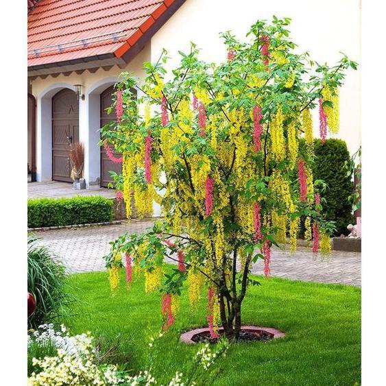 Chimären-Goldregen, 1 Pflanze Laburnocytisus adamii