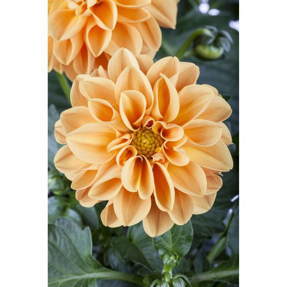 Dahlie Orange, 19 cm Topf