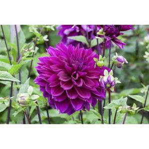 Dahlie Violett, 19 cm Topf