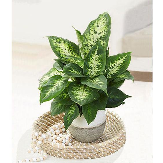 Dieffenbachie Green Magic,1 Pflanze