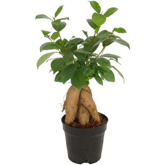 Dominik Zimmerpflanze »Ginseng-Feige«, Höhe: 15 cm, 1 Pflanze