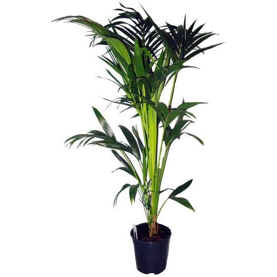 Dominik Zimmerpflanze »Kentia-Palme«, Höhe: 60 cm, 1 Pflanze