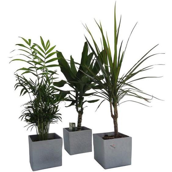 Dominik Zimmerpflanze »Palmen-Set«, Höhe: 30 cm, 3 Pflanzen in Dekotöpfen