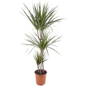 Drachenbaum Marginata grün 21 cm Topf