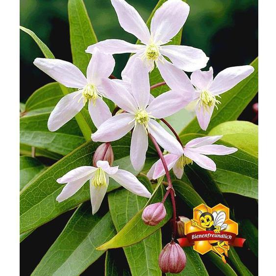 Duft-Clematis Armandii Waldrebe, 1 Pflanze