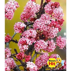Dummy Marke Duft-Schneeball Dawn Viburnum bodnantense Winterschneeball 1 Pflanze