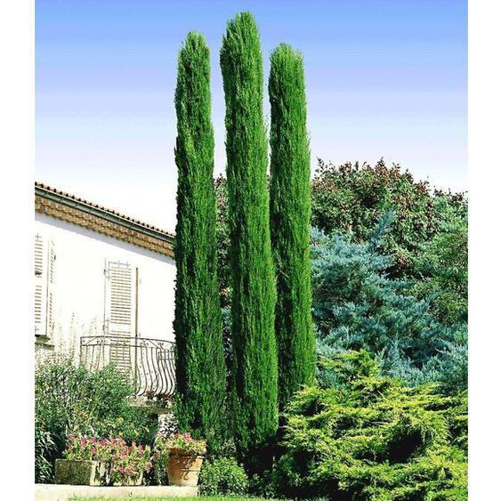 Echte Toskana Säulen-Zypressen, 1 Pflanze, Cupressus sempervirens pyramidalis