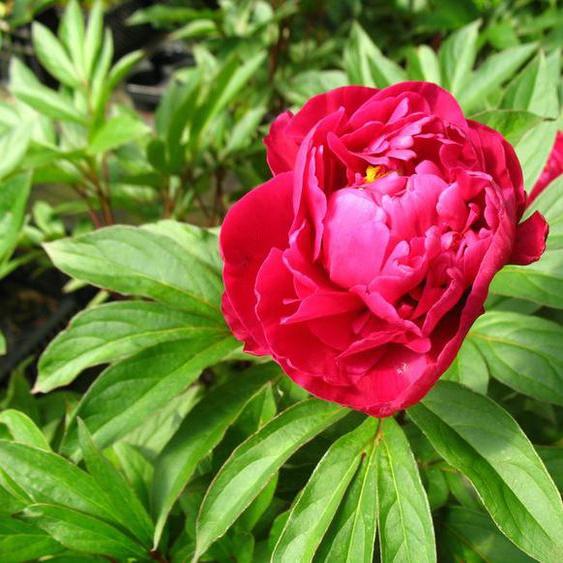 Edel-Pfingstrosen 2er Set, rot und rosa blühend, 2 XL-Pflanzen