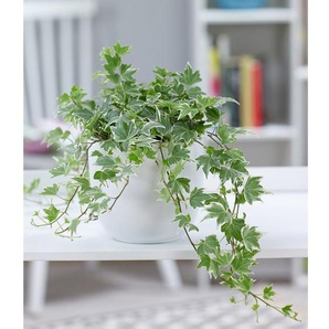 Efeu White Ripple,1 Pflanze