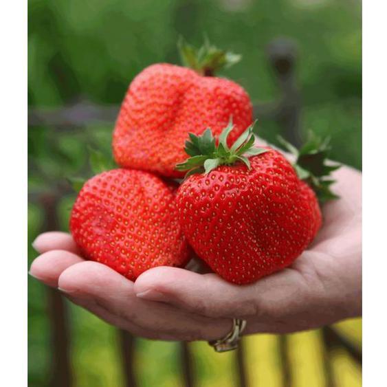 Erdbeere »Sweet Mary XXL®«, 3 Pflanzen, besonders große Früchte und sehr ertragreich