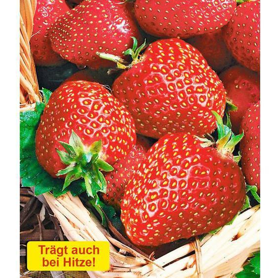 Erdbeeren »Seascape®«, 6 Pflanzen, für Beete und Kübel, auch bei Hitze sehr ertragreich