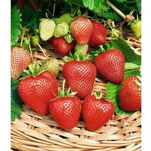 Erdbeerpflanze »Buddy®«, 3 Pflanzen, immertragend, besonders süß, mehrjährig, winterhart