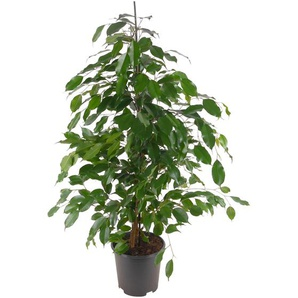 Ficus Anastasia 21 cm Topf