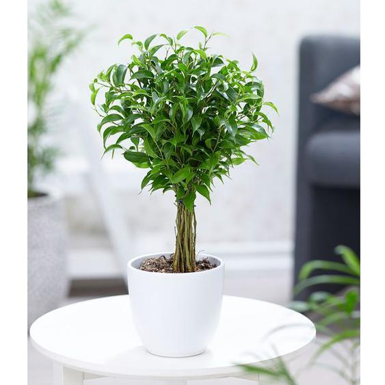 Fikus am Stamm Babilatos,1 Pflanze