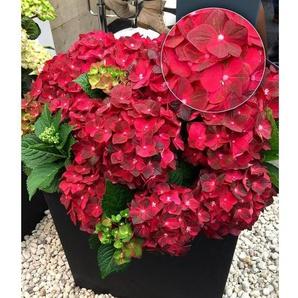 Freiland-Hortensie Ruby Tuesday 12 cm-Topf 1 Pflanze Hydrangea macrophylla