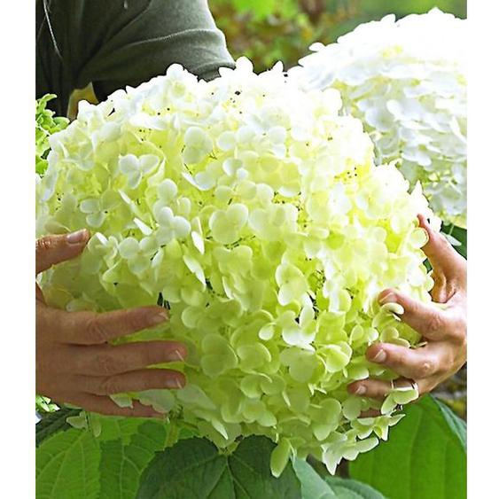 Freiland-Hortensien Incrediball®, 1 Pflanze, Hydrangea arborescens
