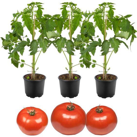 Freiland-Tomate Phantasia & Philovita 11 cm Topf, 3er-Set