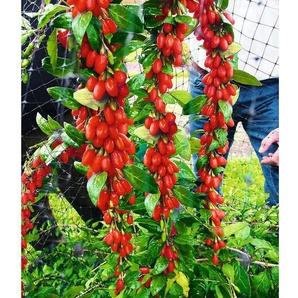 Goji Sweet Lifeberry®,1 Pflanze