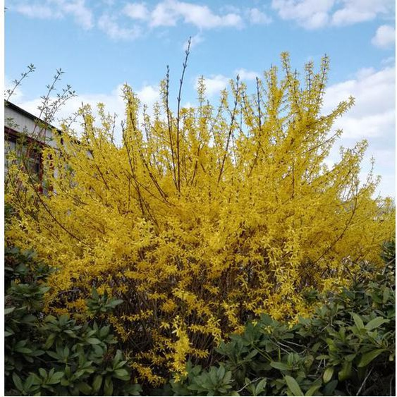 Goldglöckchen-Strauch (Forsythia), gelb blühend, 2 Pflanzen