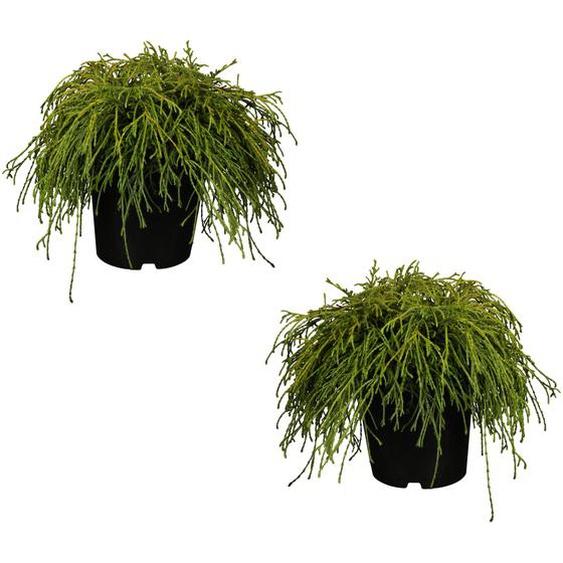 Grüne Zwerg-Fadenzypresse Filifera Nana 12 cm Topf, 2er-Set