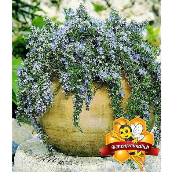 Hänge-Rosmarin Capri, 3 Pflanzen Rosmarinus