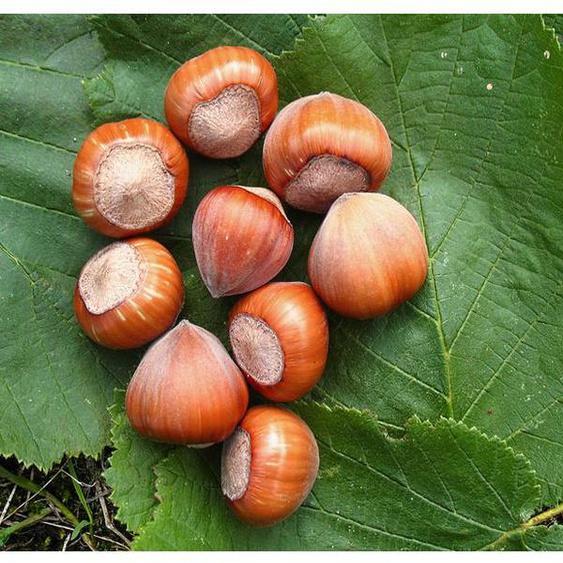 Haselnussbaum »Hallesche Riesen«, große Nüsse, winterhart, wenig anfällig für Krankheiten