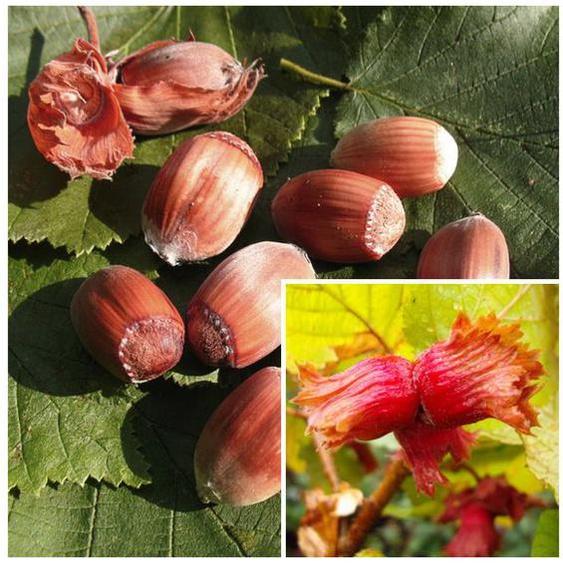 Haselnussbaum »Rote Zellernuss«, mittelgroße Nüsse, mit dunkelroten Kätzchen, winterhart