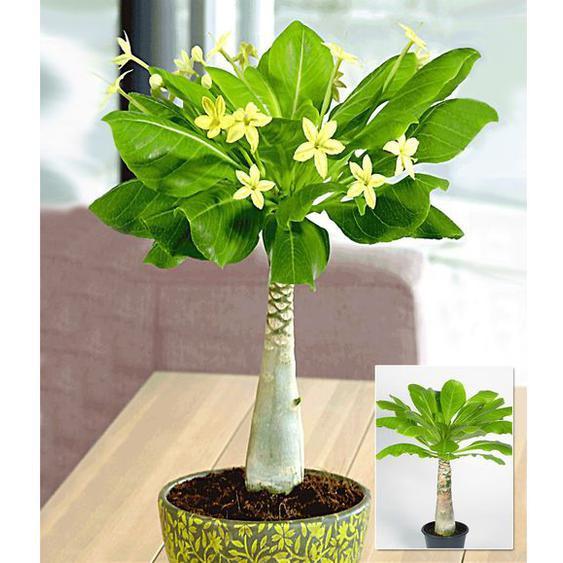 Hawaii-Palme,1 Pflanze
