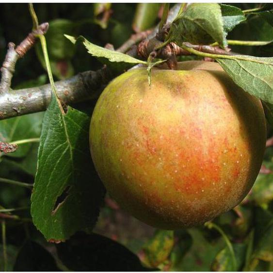 Herbstapfel Holsteiner Cox