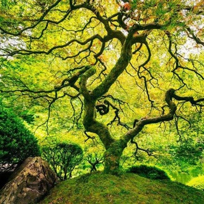 Fototapete »Japanese Maple Tree«