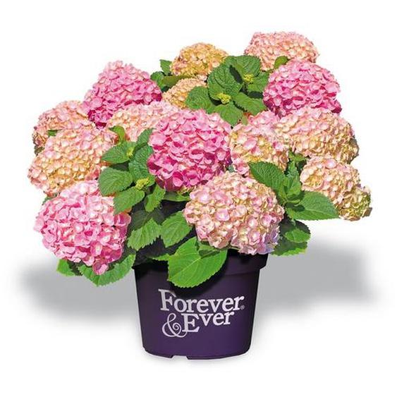 Hortensie Forever & Ever® rosa, Topf Ø 23 cm