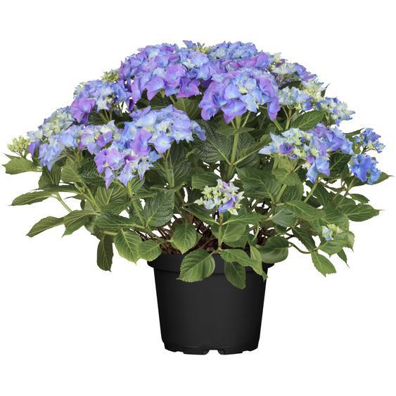 Hortensie Lovely Lady Mata Hari® blau, Topf Ø 23 cm