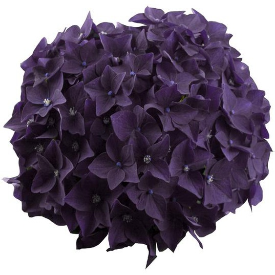 Hortensie Music Collection Deep Purple Dance®, Topf Ø 23 cm