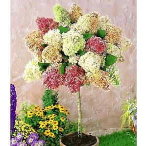 Hortensien-Stämmchen Grandiflora, 1 Pflanze Hydragena paniculata grandiflora