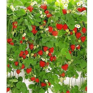 Hummi® Hängeerdbeeren, 3 Pflanzen, gut geeignet für Beet und Kübel, lange Erntezeit
