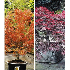 Dummy Marke Japanische Ahorn-Kollektion winterhart, 2 Pflanzen im Mix Acer palmatum