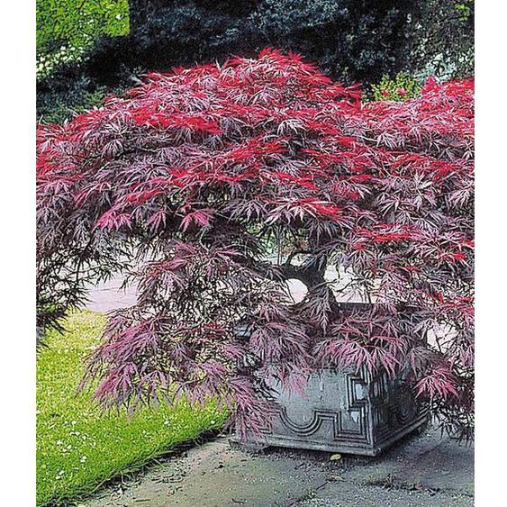 Japanischer Ahorn Burgund, 1 Pflanze Acer palmatum