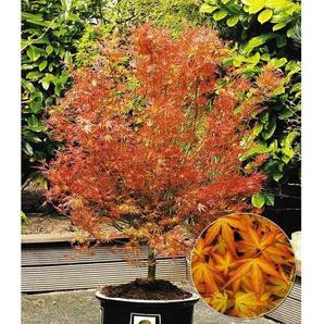 Dummy Marke Japanischer Ahorn Katsura, 1 Pflanze Acer palmatum