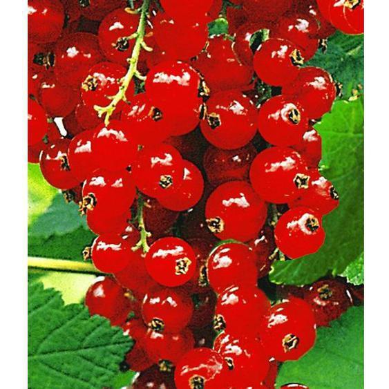 Johannisbeeren Rote Rovada, 1 Strauch, Ribes rubrum