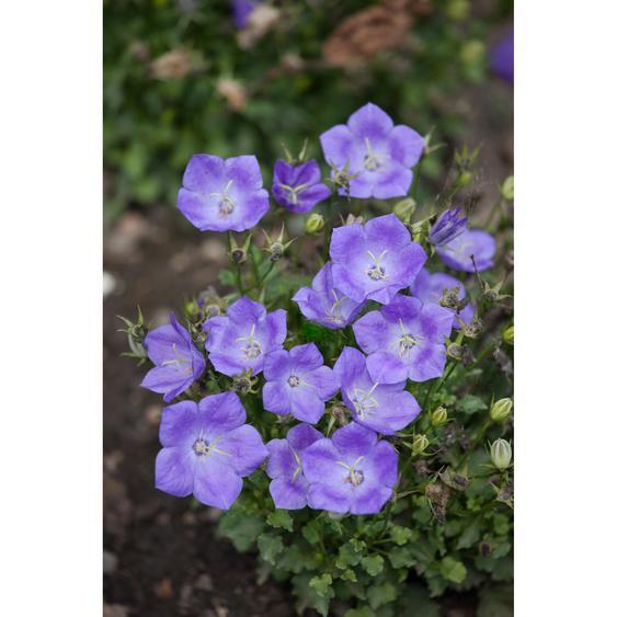 Karpatenglockenblume Pearl Deep Blue, 9 cm Topf, 3er-Set