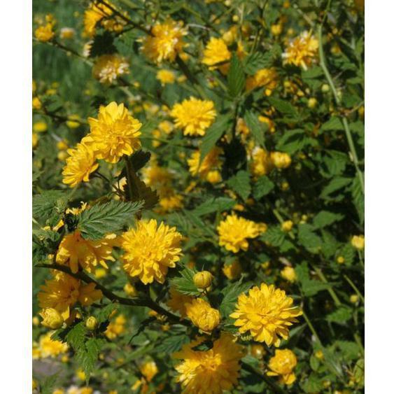 Kerria-Strauch, gelb blühend