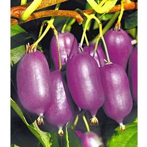 Kiwi Kens Red® (inkl. Befruchter) 2 Pflanzen Actinidia arguta Kiwipflanze winterhart