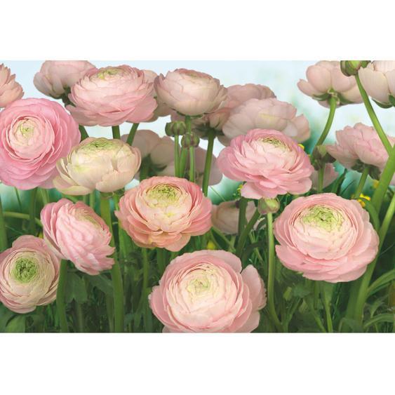 Komar Fototapete Gentle Rose 368 cm x 254 cm