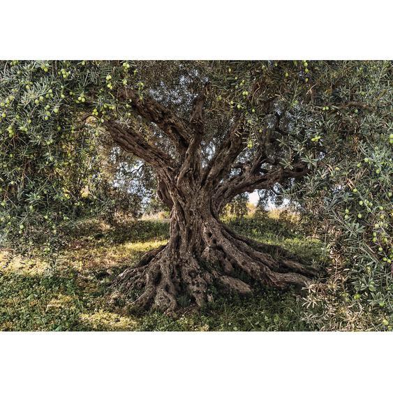 Komar Fototapete Olive Tree 368 cm x 254 cm