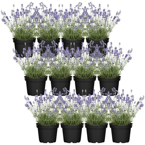Lavendel im Quadratmeter 12er-Set, 13 cm Topf