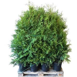 Lebensbaum Brabant 100-120 cm 30 Stück