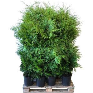 Lebensbaum Brabant 120-140 cm 12 Stück