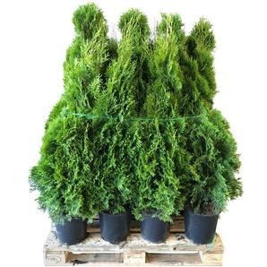 Lebensbaum Smaragd 100-120 cm 30 Stück