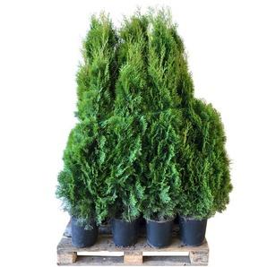 Lebensbaum Smaragd 120-140 cm 12 Stück